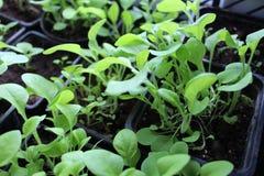 Jeunes plantes des fleurs, pétunia, jardin, fleur, pousse Image libre de droits