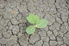 Jeunes plantes des graines de pastèque Images libres de droits