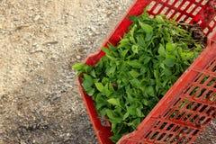 Jeunes plantes des poivrons dans prêt en plastique de boîtes à transplanter photos stock