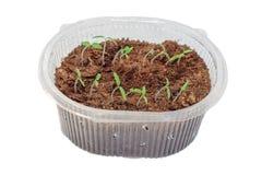 Jeunes plantes des tomates dans la boîte image stock