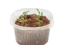 Jeunes plantes des tomates dans la boîte photographie stock libre de droits