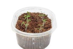 Jeunes plantes des tomates dans la boîte images stock
