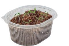 Jeunes plantes des tomates dans la boîte photos libres de droits