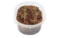 Jeunes plantes des tomates dans la boîte image libre de droits