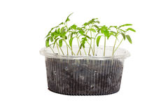 Jeunes plantes des tomates dans la boîte images libres de droits