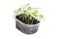 Jeunes plantes des tomates dans la boîte photo stock