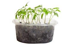 Jeunes plantes des tomates dans la boîte photographie stock