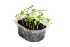 Jeunes plantes des tomates dans la boîte photo libre de droits