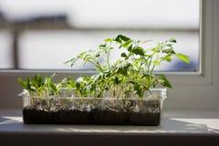 Jeunes plantes des tomates et des poivrons sur le rebord de fenêtre photographie stock libre de droits