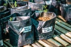 Jeunes plantes des usines en prévision de la replantation photographie stock