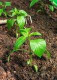 Jeunes plantes douces de paprika, jeunes usines sur un lit de potager photos libres de droits