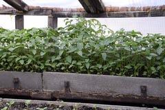 Jeunes plantes en serre chaude Élevage des légumes en serres chaudes Images libres de droits
