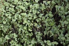 Jeunes plantes en serre chaude Élevage des légumes en serres chaudes Photo libre de droits