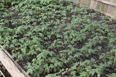 Jeunes plantes en serre chaude Élevage des légumes en serres chaudes Images stock