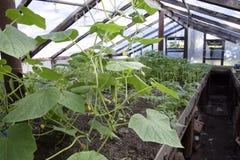 Jeunes plantes en serre chaude Élevage des légumes en serres chaudes Photos stock