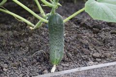 Jeunes plantes en serre chaude Élevage des légumes en serres chaudes Image libre de droits