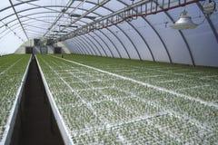 Jeunes plantes en serre chaude Photographie stock