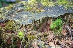 Jeunes jeunes plantes et mousse impeccables s'élevant sur le bois mort images libres de droits