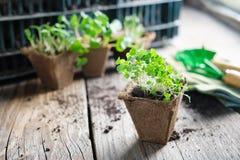 Jeunes plantes grandissantes des usines de jardin pour la plantation images stock