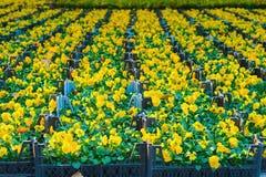 Jeunes plantes jaunes de pensée dans des boîtes image stock