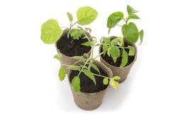Jeunes plantes mises en pot s'élevant dans des pots biodégradables de mousse de tourbe Image stock
