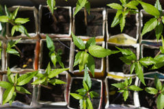 Jeunes plantes nouvellement plantées s'élevant à nouveau Image libre de droits