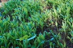 Jeunes plantes organiques de paprika de mon jardin photo stock