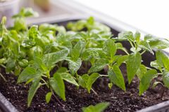Jeunes plantes, poivrons cultivés et Basil sur le rebord de fenêtre images libres de droits