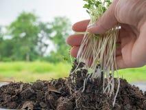 jeunes plantes s'élevant dans le sol avec un minerai complet image libre de droits