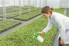 Jeunes jeunes plantes s'élevant en serre chaude Arrosage de jeune femme Photographie stock libre de droits