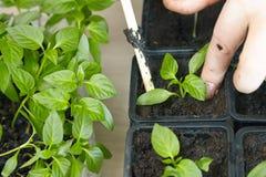 Jeunes plantes sur le plateau végétal Images stock