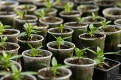 Jeunes plantes végétales dans des pots de fleur en plastique d'en haut Image libre de droits