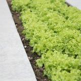 Jeunes plantes vertes de laitue Images libres de droits