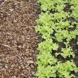 Jeunes plantes vertes de laitue Image stock