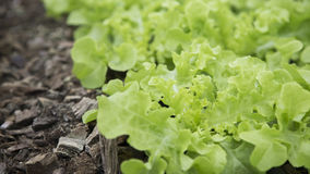 Jeunes plantes vertes de laitue Photographie stock libre de droits