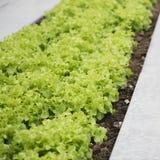 Jeunes plantes vertes de laitue Photos stock
