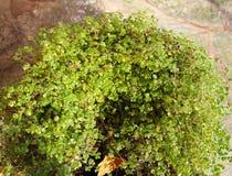 Jeunes plantes vertes et jeunes dans le pot photos libres de droits