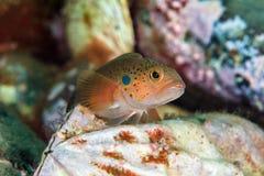 Jeunes poissons sur le mollusque bivalve en mer du Japon Images stock