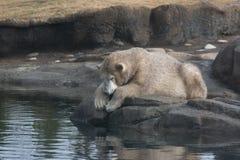 Jeunes polaires sales concernent une roche Photographie stock libre de droits