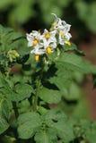 Jeunes pommes de terre de floraison Images stock