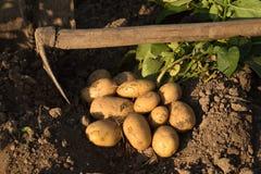Jeunes pommes de terre jaunes sur la terre photos libres de droits