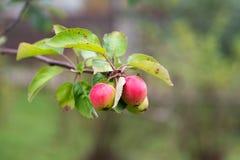 Jeunes pommes sur une branche image libre de droits