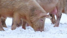 Jeunes porcs banque de vidéos
