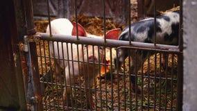 Jeunes porcs dans l'écurie à la ferme d'animal reproducteur banque de vidéos