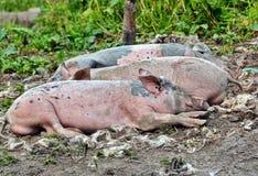 Jeunes porcs de sommeil image stock