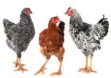 Jeunes poule et coq de poulet photo libre de droits