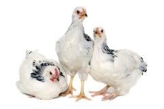Jeunes poules Photo libre de droits
