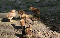 Jeunes poules images libres de droits