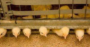Jeunes poulets à rôtir à la ferme avicole photographie stock libre de droits