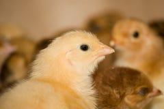 Jeunes poulets à rôtir à la ferme avicole images stock